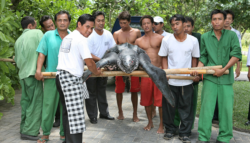 Bali Action Leatherback Turtle Rescue- 0005
