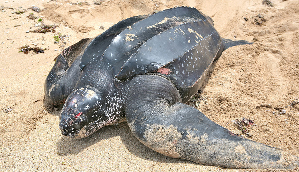 Bali Action Leatherback Turtle Rescue- 0007